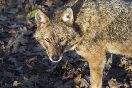 canid: Golden jackal (Canis aureus) is looking us Stock Photo