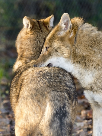 canid: Golden jackals (Canis aureus) in a forest