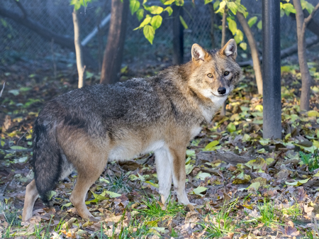 canid: Golden jackal (Canis aureus) in a forest Stock Photo