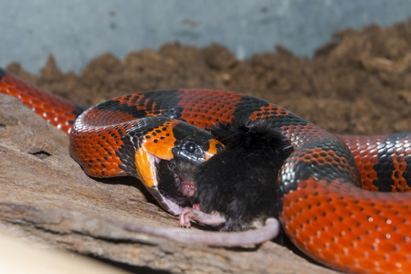 lampropeltis triangulum hondurensis: Honduran milk snake (Lampropeltis triangulum hondurensis) is swallowing a black mouse