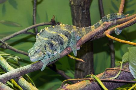 africa chameleon: Mellers chameleon (Trioceros melleri or Chamaeleo melleri) on a branch