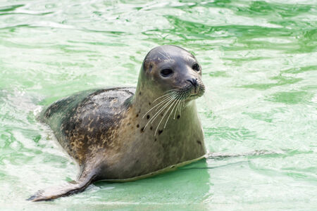 pinniped: Harbor or common seal (Phoca vitulina) on the edge of water