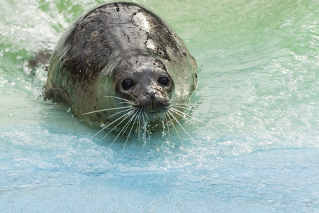 pinniped: Harbor or common seal (Phoca vitulina) is comeing from the water