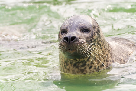 pinniped: Harbor or common seal (Phoca vitulina)