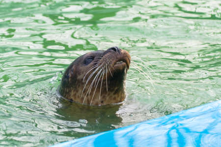 pinniped: Harbor seal (Phoca vitulina) is looking from the water