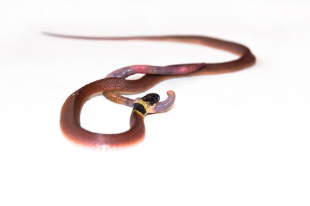 lombriz de tierra: Redback serpiente caf� (Ninia sebae) est� comiendo una lombriz de tierra