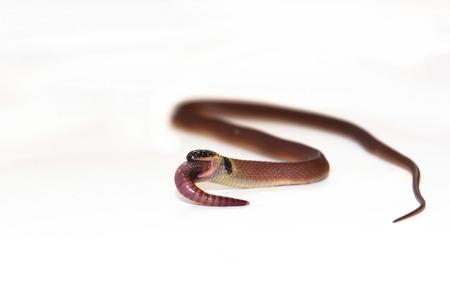 lombriz: Redback serpiente caf� (Ninia sebae) est� comiendo una lombriz de tierra