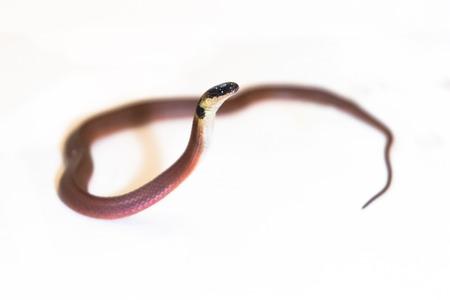 colubridae: Redback coffee snake (Ninia sebae) with white background Stock Photo