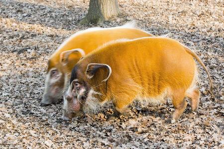 bush hog: Cerdo del r�o Rojo (Potamochoerus porcus) en el bosque Foto de archivo