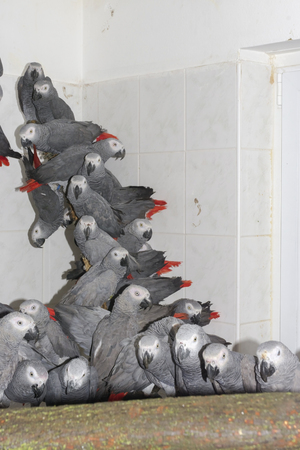Crowd of illegally transported and confiscated African grey parrots (Psittacus erithacus) in a quarantine