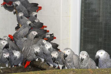 confiscated: Folla di pappagalli illegalmente trasportati e confiscati africano grigio (Psittacus erithacus) in quarantena