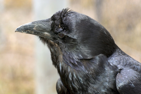 corax: Common raven (Corvus corax) in the forest