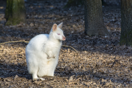 wallaby: Albino Bennetts wallaby (Macropus rufogriseus rufogriseus) in a forest