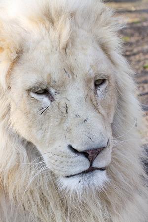 felid: White South African lion (Panthera leo krugeri) male