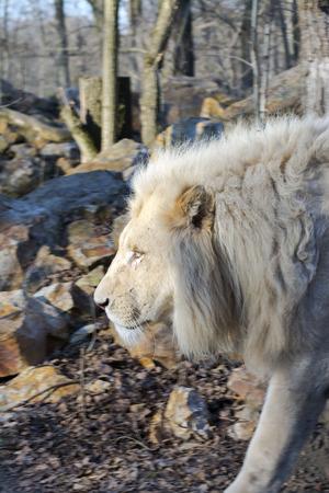 carnivora: White South African lion (Panthera leo krugeri) male