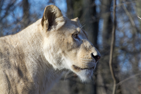 felid: White South African lion (Panthera leo krugeri) female