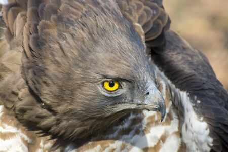 Portrait of a short-toed snake eagle (Circaetus gallicus)