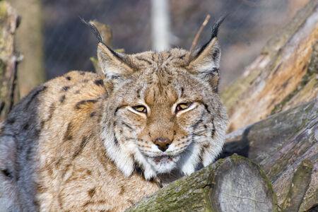 lince: Retrato de un lince eurasi�tico (Lynx lynx)