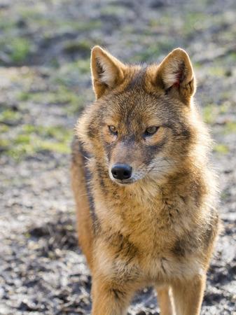 canid: European golden jackal (Canis aureus) in a forest enclosure
