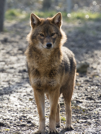 canis: European golden jackal (Canis aureus) in a forest enclosure