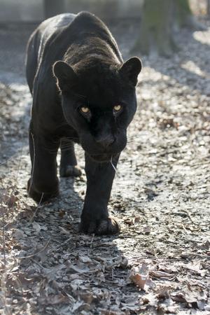 panthera onca: Male black jaguar (Panthera onca) is coming