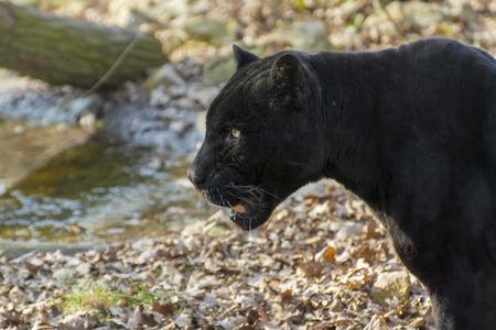 panthera onca: Male black jaguar (Panthera onca) head