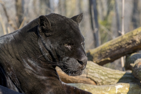felid: Portrait of a male black jaguar (Panthera onca) Stock Photo