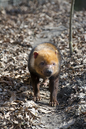 canid: Bush dog (Speothos venaticus) in a forest path