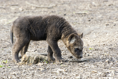 hyena: Spotted hyena (Crocuta crocuta) baby in a forest Stock Photo