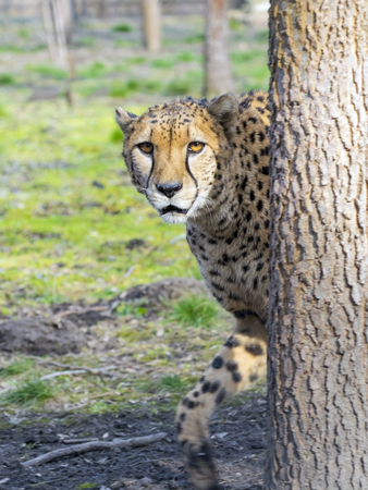 gepard: Cheetah (Acinonyx jubatus) is walking in a forest enclosure