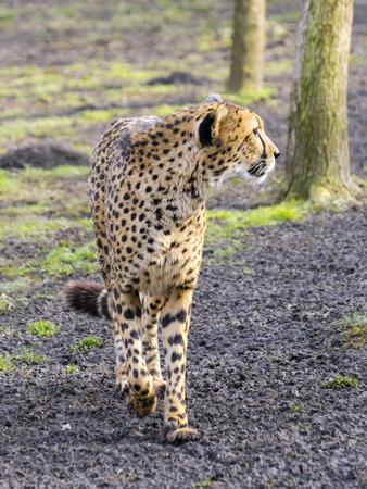 gepard: Cheetah (Acinonyx jubatus) is walking in a forest enclosure