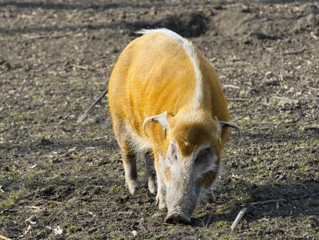 bush hog: Red river hog (Potamochoerus porcus) in a forest