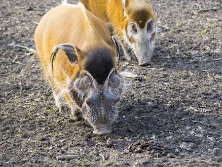 bush hog: Cerdo del r�o Rojo (Potamochoerus porcus) en un bosque Foto de archivo