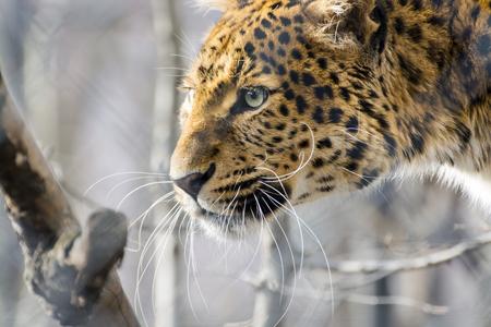 pardus: Head of a North Chinese leopard (Panthera pardus japonensis) Stock Photo