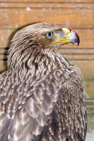 aquila: Eastern imperial eagle (Aquila heliaca) in a wildlife rescue center Stock Photo