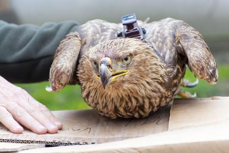 deployed: Satellite transmitter on an imperial eagle (Aquila heliaca)