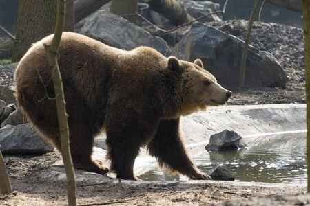 arctos: European brown bear (Ursus arctos arctos) walks