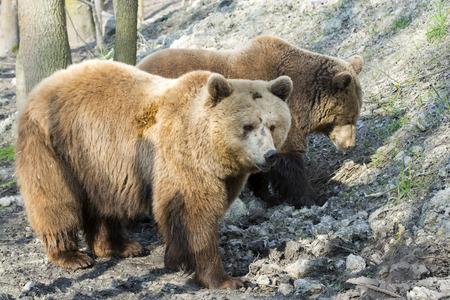 arctos: Orso bruno europeo (Ursus arctos arctos) passeggiate Archivio Fotografico