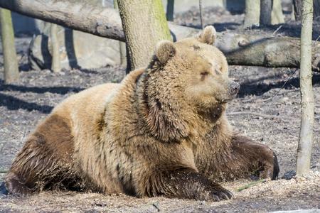 arctos: European brown bear (Ursus arctos arctos) is lying