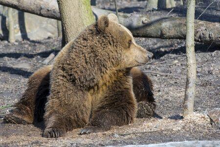 carnivora: European brown bear (Ursus arctos arctos) is lying