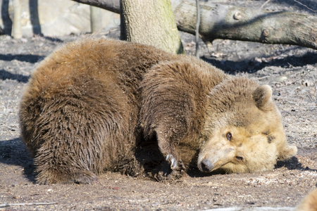 arctos: European brown bear (Ursus arctos arctos) dust bathing Stock Photo