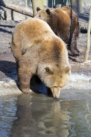 arctos: European brown bear (Ursus arctos arctos) is drinking water