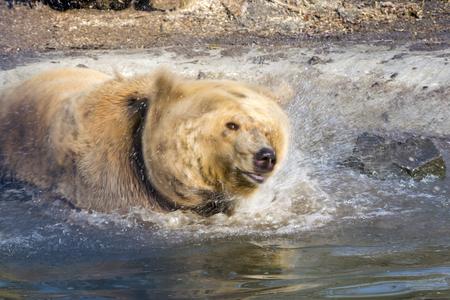 arctos: European brown bear (Ursus arctos arctos) shakes head in the water