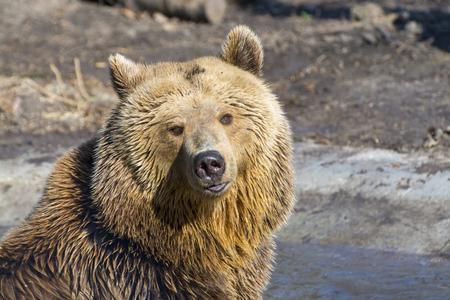 arctos: European brown bear (Ursus arctos arctos) in the water