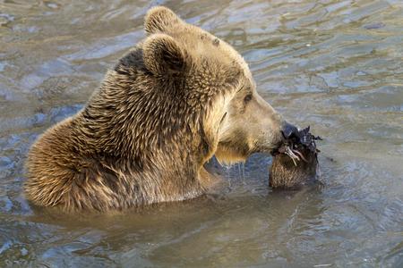 plantas acuaticas: Oso pardo europeo (Ursus arctos arctos) se come las plantas de agua