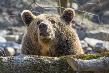 arctos: European brown bear (Ursus arctos arctos) head Stock Photo