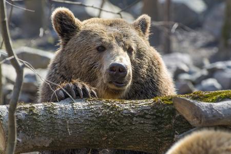 carnivora: European brown bear (Ursus arctos arctos) head Stock Photo