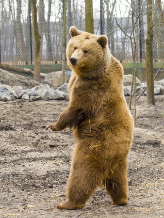 European brown bear (Ursus arctos arctos) is standing up 스톡 콘텐츠