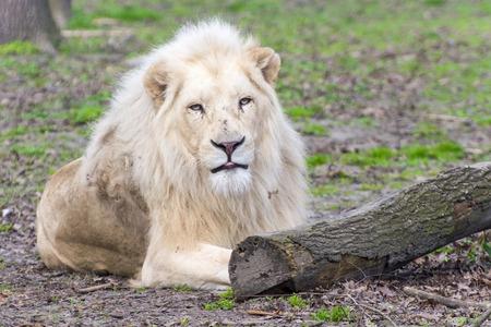 felid: Male white South African lion (Panthera leo krugeri) Stock Photo
