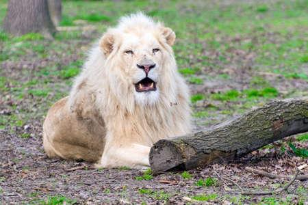 Male white South African lion (Panthera leo krugeri) Reklamní fotografie